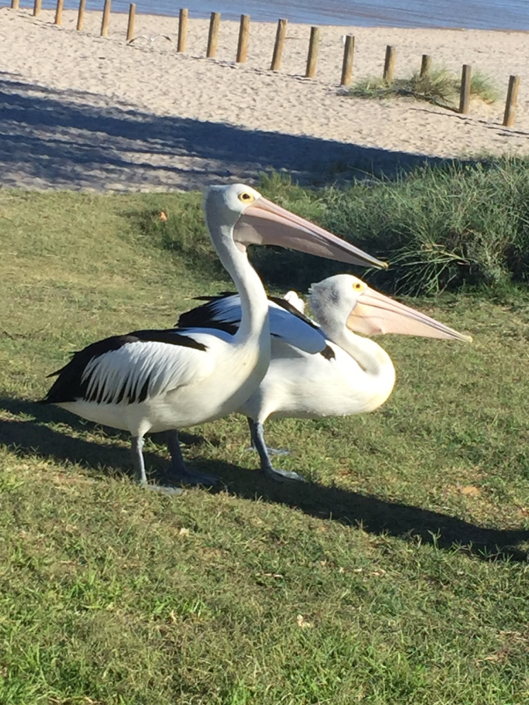 Pelicans came up close and asked for their breakfast