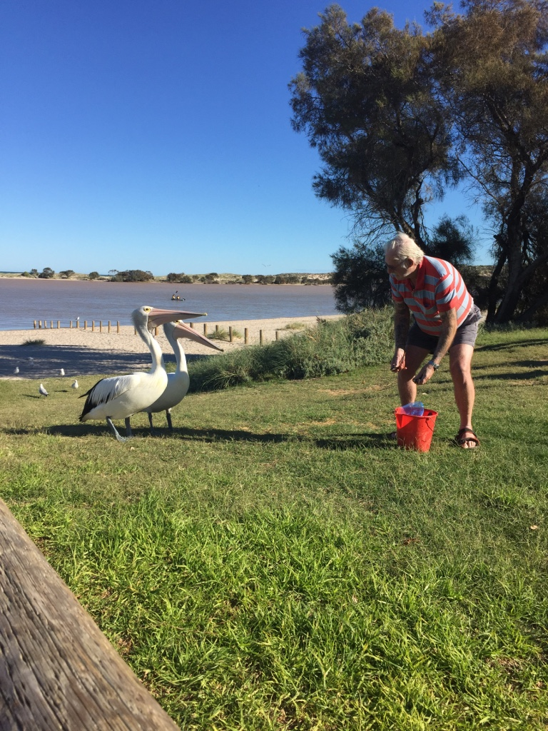 Pelican feeding at Kalbarri daily event local volunteers