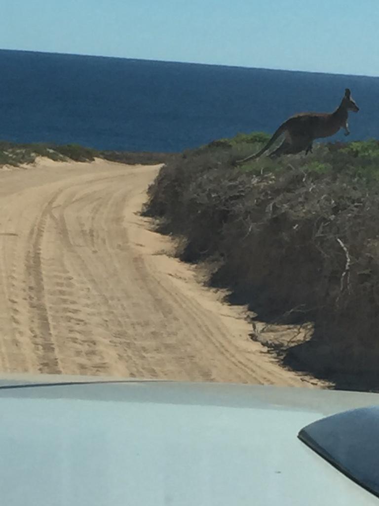 The kangaroo at the westerly point woke up