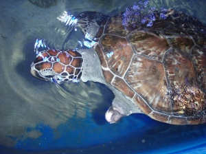 This Turtle was at the park for recuperation after loosing a fin.