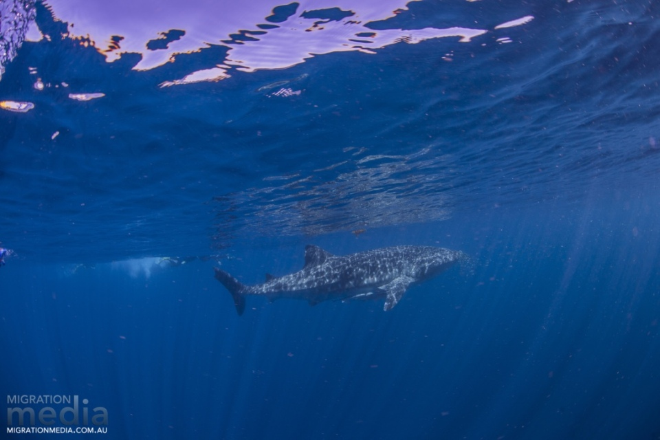 Spotty the whale shark