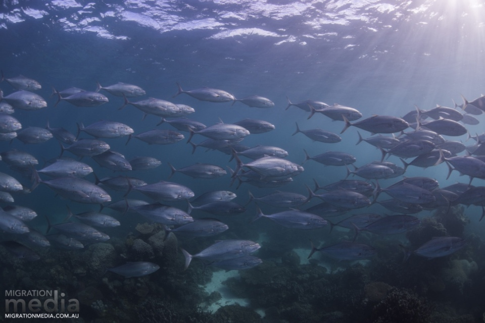 School of fish on the Ningaloo