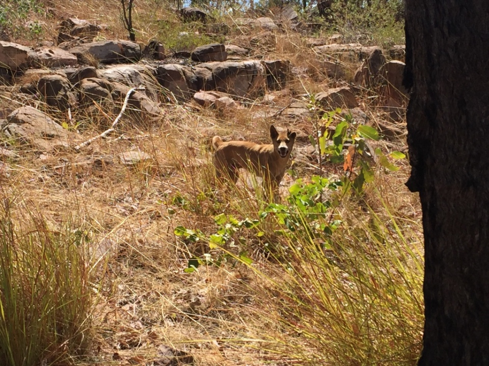 Another cheeky dingo we spotted on the track