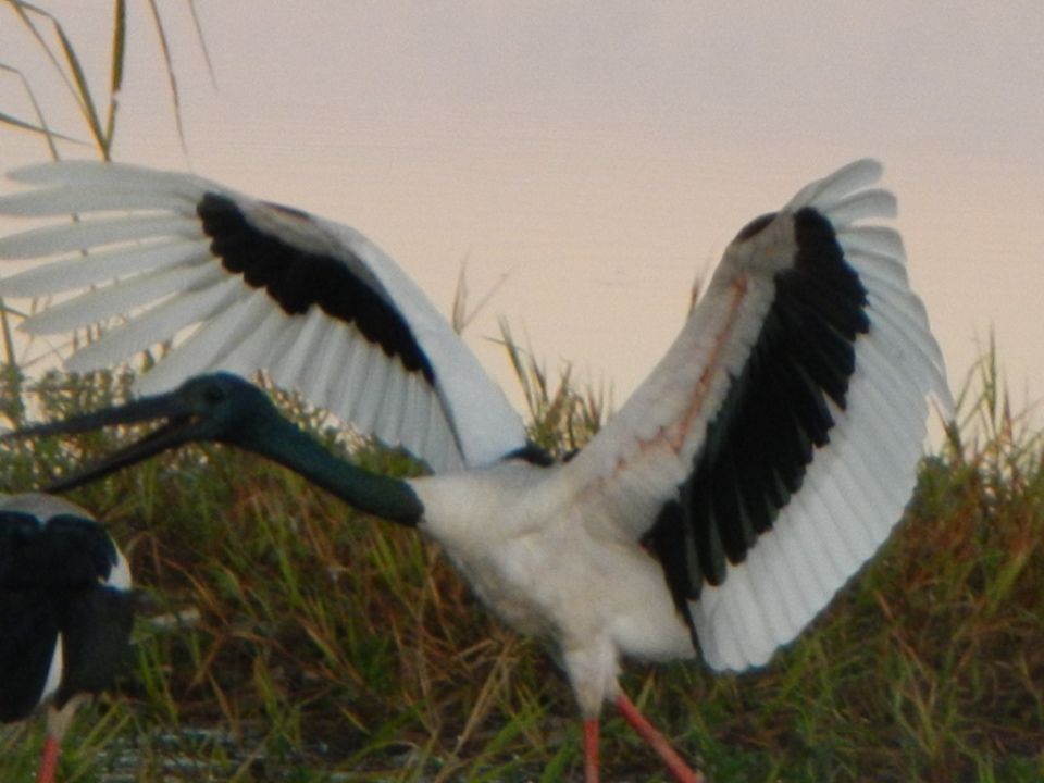 Jabiru in dance