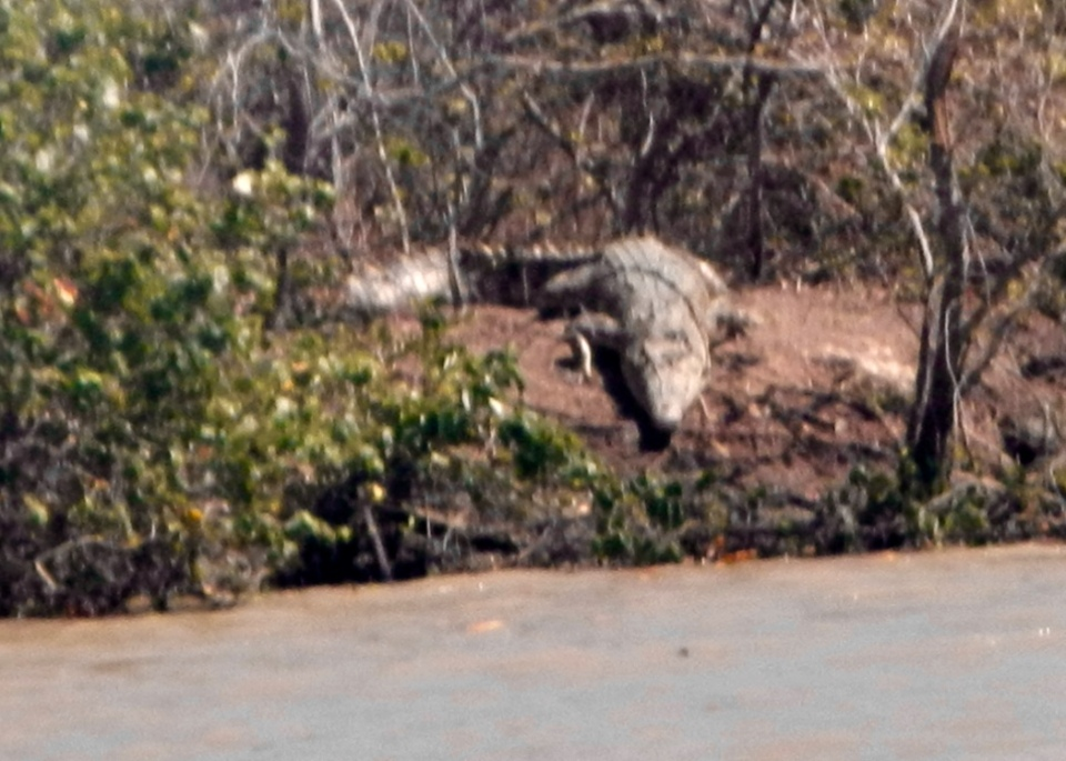 A crocodile on the bank of the river